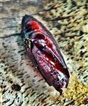 Chitinöse Puppe eines Schmetterlings(vermutlich Erdeule) Okotober 2017