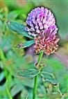 Blüten des Wiesenklees(Trifolium pratense(L.))