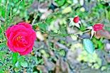 Rote Rosen(Kulturrose)(Rosa)