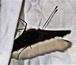 Tagpfauenauge(Aglais io(L. 1758)) beim Versuch zu überwintern