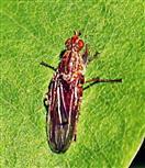Baumfliege(Dryomyza flaveola(Fabricius 1794))