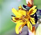Kleinköpfige (Stauden-)Sonnenblume(Helianthus microcephalus) -