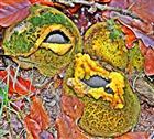 Dickschalige Kartoffelboviste(Scleroderma citrinum(Pers.)) 01