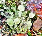 Echte Becherflechte(Cladonia pyxidata(L.)Hoffm.)