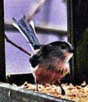 Mitteleuropäische Schwanzmeise(Aegithalos caudatus europaeus(Hermann 1804)) am Vogelfutterhaus Dezember 2017
