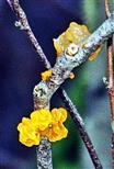 Goldgelber Zitterling(Tremella mesenterica(Pers.))