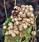 Birnen-Stäubling(Lycoperdon pyriforme(Schaeff. Pers.))