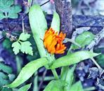 Ringelblume(Calendula officinalis(L.)) Januar 2018