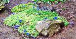 Enziane(Gentiana) in einem Vorgarten in Dillenburg