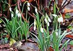 Kleines Schneeglöckchen(Galanthus nivalis(L.)) knospend