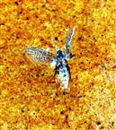 (Blüten-)Trips(Thysanoptera)
