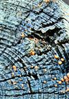 Zinnoberroter Pustelpilz(Nectria cinnabarina(Tode)Fr.)
