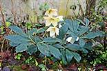 Schneerose(Helleborus niger(L.)) 01