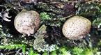 Birnenstäubling(Lycoperdon pyriforme(Schaeff.;Pers.))