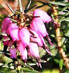 Blüten einer Besenheide(Caluna vulgaris(L.))