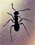 Schwarze Wegameise(Lasius niger(L. 1758))