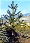 Araukarie(Araucaria(Juss.))