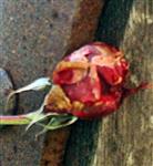 Geschützte Rosenknospe(Rosa(L.)) 01 im Winter(Februar 2018)