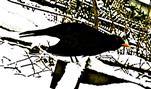 Amselhahn(Turdus merula(L. 1758)) 01 am Komposthaufen