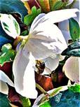 Westliche Honigbiene(Apis mellifera(L. 1758)) an einer Blüte der Christ- oder Schneerose(Helleborus niger(L.))