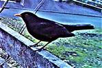 Amselhahn(Turdus merula(L. 1758)) am Rande des Komposthaufens