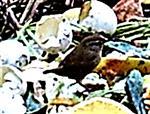 Zaunkönig(Troglodytes troglodytes(L. 1758)) auf dem Kompost