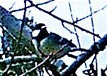 Kohlmeise(Parus major(L. 1758)) in der Nähe der Fütterung