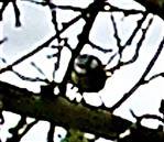 Blaumeise(Cyanistes caeruleus(L. 1758))