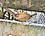 Zaunkönig(Troglodytes troglodytes(L. 1758)) am Komposthaufen 01