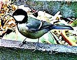 Kohlmeise(Parus major(L. 1758)) am Rande des Komposthaufens