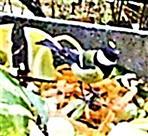 Kohlmeise(Parus major(L. 1758)) auf dem Komposthaufen 01