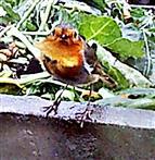 Rotkehlchen(Erithacus rubecula(L. 1758)) am Rande des Komposthaufens 001
