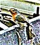 Rotkehlchen(Erithacus rubecula(L. 1758)) am Rande des Komposthaufens 002