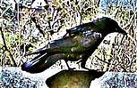 Saatkrähe(Corvus frugilegus(L. 1758)) am Rande eines Komposthaufens