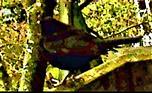 Amselhahn(Turdus merula(L. 1758)) auf dem Geländer der Terrasse