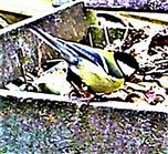 Kohlmeise(Parus major(L. 1758)) am Rande des Komposthaufens 002
