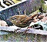Zaunkönig(Troglodytes troglodytes(L. 1758)) am Rande des Komposthaufens