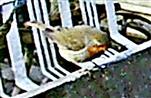 Rotkehlchen(Erithacus rubeculaaa(L. 1758)) am Rande des Komposthaufens 06