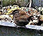 Zaunkönig(Troglodytes troglodytes(L. 1758)) am Rande des Komposthaufens  002