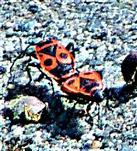 Gemeine Feuerwanze(Pyrrhocoris apterus(L. 1758)) auf einem gepflasterten Parkplatz