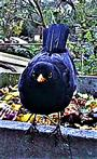 Amselhahn(Turdus merula(L. 1758)) am Rande des Komposthaufens 02