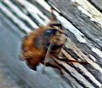 Langhornbiene(Eucera longicornis(L. 1758)) männlich