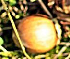 Haselnuss(Frucht) der Gemeinen Hasel(Corylus avellana(L.))