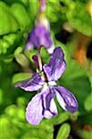 Wald-Veilchen(Viola reichenbachiana(Boreau))