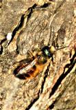 Rote Mauerbiene(Osmia bicornis(L. 1758)) männlich