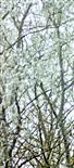 Weiden(Salix(L.)) aussamend