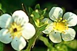 Blüten einer Walderdbeere(Fragaria vesca(L.))