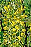 Blütentraube eines Gemeinen Goldregens(Viburnum anagyroides(Fabr.))
