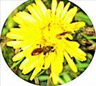 Gewöhnliche Blutbiene(Sphecodes ehippius(L. 1767))