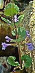 Gundermann(Glechoma hederacea(L.))